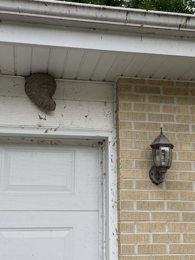 Wasp Nest in Wisconsin - Bug Man and Queen Bee